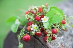 Κλάδοι της φρέσκιας άγριας άγριας φράουλας στο παλαιό ξύλο ενός κούτσουρου Στοκ Φωτογραφία
