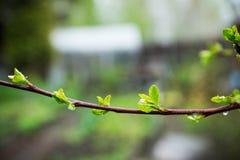 Κλάδοι της Apple στον κήπο Στοκ Εικόνες