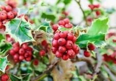 Κλάδοι της Holly (aquifolium Ilex) Στοκ εικόνα με δικαίωμα ελεύθερης χρήσης