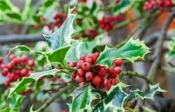 Κλάδοι της Holly (aquifolium Ilex) Στοκ Φωτογραφίες