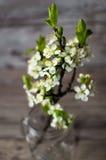 Κλάδοι του άσπρου ανθίζοντας δέντρου δαμάσκηνων Στοκ Εικόνα