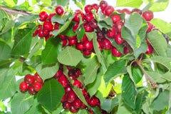 Κλάδοι του δέντρου κερασιών με τα ώριμα κόκκινα φρούτα μούρων Στοκ εικόνα με δικαίωμα ελεύθερης χρήσης