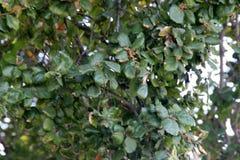 Κλάδοι του δέντρου κληρονομιάς, ζωντανή βαλανιδιά ακτών, agrifolia Ficus Στοκ Εικόνες