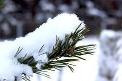 Κλάδοι του πεύκο-δέντρου που καλύπτονται με το χιόνι στο όμορφο χειμερινό δάσος Στοκ φωτογραφία με δικαίωμα ελεύθερης χρήσης