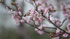 Κλάδοι του ρόδινου ιαπωνικού ασιατικού sakura κερασιών απόθεμα βίντεο