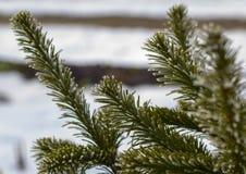 Κλάδοι του σιβηρικού γούνα-δέντρου ενάντια στο χιόνι Στοκ φωτογραφία με δικαίωμα ελεύθερης χρήσης
