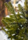 Κλάδοι του σιβηρικού γούνα-δέντρου ενάντια στο χιόνι Στοκ Εικόνες