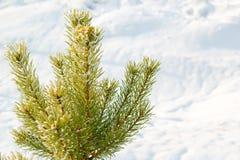 Κλάδοι του σιβηρικού γούνα-δέντρου ενάντια στο χιόνι Στοκ Φωτογραφία