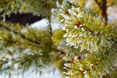 Κλάδοι του σιβηρικού γούνα-δέντρου ενάντια στο χιόνι Στοκ εικόνα με δικαίωμα ελεύθερης χρήσης