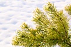 Κλάδοι του σιβηρικού γούνα-δέντρου ενάντια στο χιόνι Στοκ φωτογραφίες με δικαίωμα ελεύθερης χρήσης