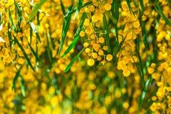 Κλάδοι του mimosa που κρεμούν κάτω Στοκ φωτογραφία με δικαίωμα ελεύθερης χρήσης