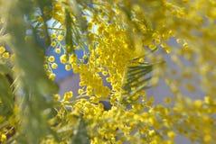 Κλάδοι του mimosa Στοκ Φωτογραφίες