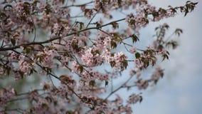 Κλάδοι του sakura κερασιών άνθησης ιαπωνικού ασιατικού απόθεμα βίντεο