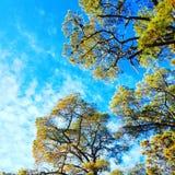Κλάδοι των δέντρων ενάντια στους μπλε ουρανούς Στοκ εικόνα με δικαίωμα ελεύθερης χρήσης