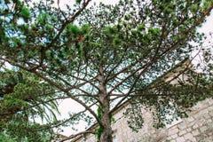 Κλάδοι των δέντρων πεύκων στο Μαυροβούνιο κοντά στη θάλασσα Στοκ Εικόνα