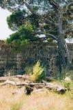 Κλάδοι των δέντρων πεύκων στο Μαυροβούνιο κοντά στη θάλασσα Στοκ εικόνα με δικαίωμα ελεύθερης χρήσης