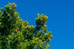 Κλάδοι των δέντρων πεύκων στο Μαυροβούνιο κοντά στη θάλασσα Στοκ Εικόνες