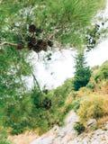 Κλάδοι των δέντρων πεύκων στο Μαυροβούνιο Στοκ εικόνα με δικαίωμα ελεύθερης χρήσης