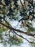 Κλάδοι των δέντρων πεύκων στο Μαυροβούνιο Στοκ εικόνες με δικαίωμα ελεύθερης χρήσης