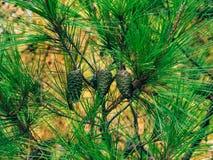 Κλάδοι των δέντρων πεύκων στο Μαυροβούνιο Στοκ φωτογραφία με δικαίωμα ελεύθερης χρήσης