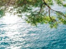 Κλάδοι των δέντρων πεύκων στο Μαυροβούνιο Στοκ Φωτογραφία