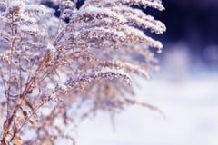 Κλάδοι χλόης που παγώνουν στον πάγο Παγωμένος κλάδος χλόης το χειμώνα καλυμμένο κλάδος χιόνι Στοκ εικόνα με δικαίωμα ελεύθερης χρήσης