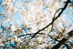 Κλάδοι Magnolia Στοκ εικόνες με δικαίωμα ελεύθερης χρήσης