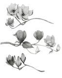 Κλάδοι Watercolor του magnolia Στοκ Φωτογραφία