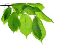 Κλάδος άνοιξη του δέντρου κερασιών με τα πράσινα φύλλα στοκ εικόνα