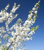 Κλάδος δέντρων δαμάσκηνων με τα άσπρα λουλούδια Στοκ Εικόνες