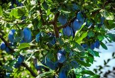 Κλάδος δέντρων δαμάσκηνων Στοκ Φωτογραφίες