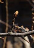 Κλάδος δέντρων αχλαδιών Στοκ εικόνα με δικαίωμα ελεύθερης χρήσης