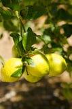 Κλάδος δέντρων λεμονιών Στοκ Εικόνες