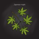 Κλάδος δέντρων ιαπωνικός-σφενδάμνου διανυσματική απεικόνιση