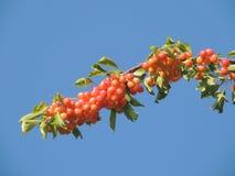 Κλάδος δέντρων κερασιών Στοκ εικόνες με δικαίωμα ελεύθερης χρήσης