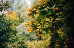 Κλάδος δέντρων με τα κίτρινα φύλλα Στοκ Φωτογραφία