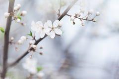 Κλάδος δέντρων με τους οφθαλμούς την άνοιξη Στοκ εικόνες με δικαίωμα ελεύθερης χρήσης