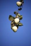 κλάδος δέντρων μηλιάς με τα μήλα Στοκ Εικόνες