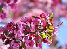 Κλάδος δέντρων μηλιάς παραδείσου Στοκ εικόνες με δικαίωμα ελεύθερης χρήσης