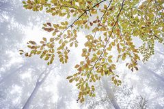 Κλάδος δέντρων οξιών Στοκ Εικόνες