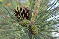 Κλάδος δέντρων πεύκων με τους κώνους Στοκ Φωτογραφία