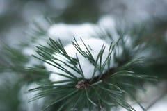 Κλάδος δέντρων πεύκων στο χιόνι Στοκ Εικόνες