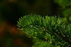 Κλάδος δέντρων πεύκων των βελόνων έλατου στο σκοτεινό ζωηρόχρωμο υπόβαθρο Στοκ Φωτογραφία