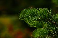 Κλάδος δέντρων πεύκων των βελόνων έλατου στο σκοτεινό ζωηρόχρωμο υπόβαθρο Στοκ φωτογραφίες με δικαίωμα ελεύθερης χρήσης