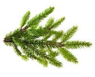 Κλάδος δέντρων πεύκων Στοκ Εικόνες