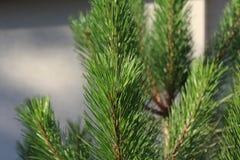 Κλάδος δέντρων πεύκων Στοκ εικόνα με δικαίωμα ελεύθερης χρήσης