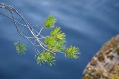 Κλάδος δέντρων πεύκων Στοκ Εικόνα