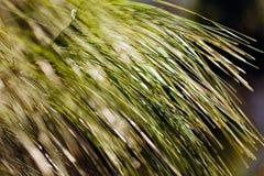 Κλάδος δέντρων πεύκων Στοκ φωτογραφία με δικαίωμα ελεύθερης χρήσης
