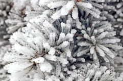 κλάδος δέντρων στο χιόνι Στοκ εικόνα με δικαίωμα ελεύθερης χρήσης