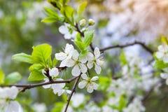 Κλάδος δέντρων της Apple με τα άσπρα λουλούδια την άνοιξη Στοκ εικόνα με δικαίωμα ελεύθερης χρήσης
